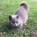 4個月藍色弟弟「曼赤肯」短腿貓(矮腳貓)