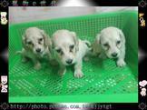 寵物E世代~107/02/13特稀有乳白長毛臘腸犬特優質