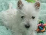 【美力狗寵物生活館】全新裝潢重新開張 ★超雪白西沙15000★及眾多幼犬歡迎參觀