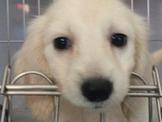 日系超優質奶油長毛臘腸來嚕 優美犬舍買狗純種犬舍