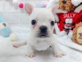 👉首選寵物店💖短腿❗法鬥寶寶⭐小霸王⭐$10000起