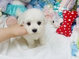 ❤推薦的寵物店❤ 頂級棉花糖比熊犬寶寶 $12000起