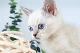 英國短毛貓(煙燻重點色/藍灰色)~漂亮的包子臉英短~特價中~