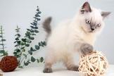 漂亮的雙色布偶貓妹妹~可刷卡~可分期~通過安心賣家認證~另有其他幼犬