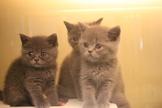 英國短毛貓(藍英短)~漂亮的包子臉藍英短~特價中~