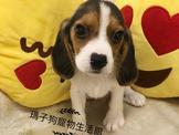 瑪子狗寵物生活館 米格魯批發價