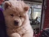 可愛鬆獅犬~奶油白