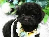❇寵物時光❇頂級 日系迷你 泰迪熊臉蛋玩具茶杯 黑貴賓 Teacup Poodle