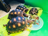 櫻桃紅腿陸龜
