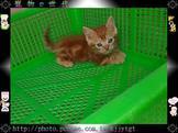 寵物E世代~107/05/13曼赤肯短腿貓寶寶特美優質