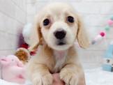 👉首選寵物店💖各色❗長毛臘腸寶寶⭐頂級⭐大眼睛⭐短腿$7500起