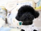 ❇寵物時光❇頂級 日系迷你 泰迪熊臉蛋玩具 黑貴賓 Toy Poodle