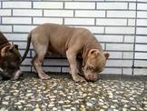 惡覇犬  幼犬