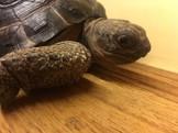 售 賣 亞達伯拉象龜 蘇卡達 赫曼 星龜 櫻桃紅腿 豹龜