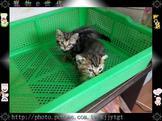 寵物E世代~107/07/16日古銅美國短毛貓臉圓紋路特深特美特Q