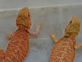 火焰鬆獅蜥 亞成體