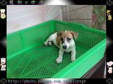 寵物E世代~107/07/16純種高品質傑克羅素梗寶寶特稀有犬種