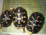 ~~紅腿陸龜~~儲備繁殖組