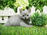 鬥牛小子 奶油斑紋 / 藍灰 英國短毛貓