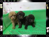 寵物E世代~107/08/19純種紅貴賓與巧克力貴賓寶寶超可愛