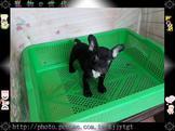 寵物E世代~107/07/16特優漂亮純種法國鬥牛犬超可愛
