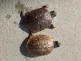 便宜售 小蘇卡達 墨蛋 巨型山龜 藍舌 王者蜥 肯亞豹 東箱