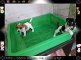 寵物E世代~107/08/19純種高品質傑克羅素梗寶寶特稀有犬種