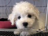 【美力狗寵物生活館】全新裝潢重新開張 ★比熊★12000起及眾多幼犬歡迎參觀