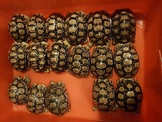 10/2售 肯亞豹 小蘇卡達 巨型山龜 藍舌 王者蜥