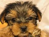 【美力狗寵物生活館】全新裝潢重新開張 ★約克夏寶寶7000起★及眾多幼犬歡迎參觀