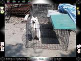 寵物E世代107/11/11日雪白漂亮狐狸犬特優質犬種