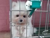 ☞板橋買幼犬寵物店品質保證☜ 汪汪❤本舖-哪裡買狗高級數博美 爆毛超美博美16000起