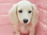 汪汪本舖 臘腸幼犬