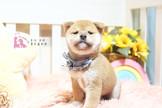 ◆有你真好◆ 重磅來襲 王者再臨 頂級ウダんモ 日系  柴犬 Shiba Inu 正宗純正日系血統 Shiba Inu