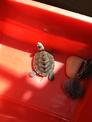 賣卡羅萊納鑽紋龜