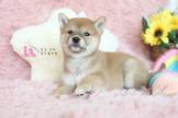 ◆有你真好 真正優質安心賣家 本犬實際拍攝 絕無修圖◆正宗純正日系血統 Shiba Inu