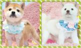 ◆有你真好 真正優質安心賣家 本犬實際拍攝 絕無修圖◆『來店驚喜價』甜美豆柴來襲 正宗純正日系血統 Shiba Inu