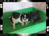 寵物E世代~108/01/17非常稀有純種花柴犬寶寶賽級原始味!