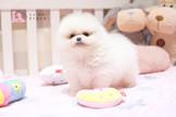 ☀有你真好☀完美登場 迷你爆毛松鼠博美 Pomeranian