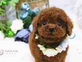 ❇寵物時光❇日系甜美 深紅茶杯貴賓 Teacup Poodle
