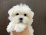 ◆快樂狗幼犬生活館◆賽級嚴選◆超優質短吻雪白魔天使的三點黑茶杯型馬爾寶寶迷你馬爾濟斯幼犬◆ Maltese baby for sale◆