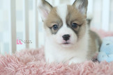 ◆有你真好 真正優質安心賣家 本汪實際拍攝 絕無修圖◆ 王者風範貴族氣息 英國皇家愛犬 pembroke wales corgi