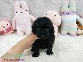 日系柴犬旗艦店-黑貴賓-13000起(可刷卡)