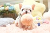 ◆有你真好 真正優質安心賣家 本汪實際拍攝 絕無修圖 ◆  完美登場 超級療癒法鬥寶寶 French Bulldog
