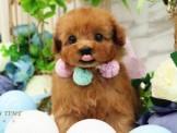 ❇寵物時光❇日系甜美 深紅玩具貴賓 Toy Poodle