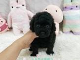 日系柴犬旗艦店-黑貴賓-15000起(可刷卡)