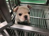 汪喵歡樂營-法國鬥牛犬(可領養)來店購買鮮食者可享終生免費住宿
