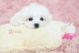◆有你真好 真正優質安心賣家 本汪實際拍攝 絕無修圖◆ 雪天使寶貝 臉蛋精緻甜美 Maltese