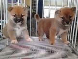 ..  柴犬幼犬  ..【本尊照片】弟弟8000妹妹10000