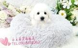 日系柴犬旗艦店-比熊-15000起(可刷卡)